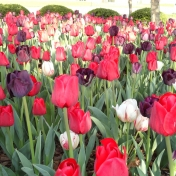 Tulips in front of Business and Technology Center